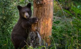 Young Black Bear Clings to Tree Stock Images