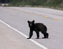 Young Black Bear Crossing the Road Royalty Free Stock Image