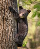 Young black bear cub climbs up tree for safety stock image