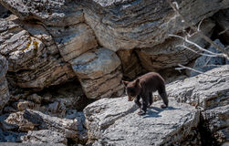 Young Black Bear. Bear cub trying to catch up to his mother Stock Photography