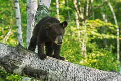Young Black Bear Cub (Ursus americanus) Looks Down Branch Stock Image