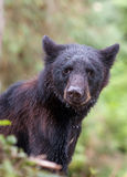 Young black bear Royalty Free Stock Images