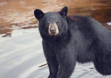 Young black bear. Near water stock photo