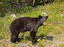 A young black bear in northern british columbia Royalty Free Stock Images