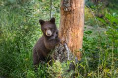 Young Black Bear Peers Around Bare Tree. In Grand Teton National Park Stock Photography