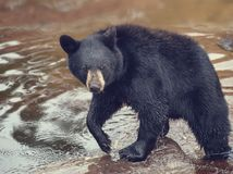 Young black bear. In a pond stock photo