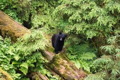 Young black bear in the rainforest Stock Image