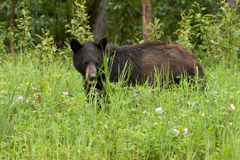 Young Black Bear Ursus americanus forage green meadow Stock Image