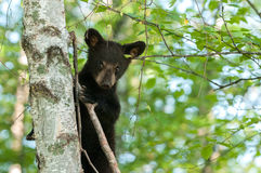 Young Black Bear (Ursus americanus) Looks Down From Tree Royalty Free Stock Image
