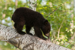 Young Black Bear (Ursus americanus) Sniffs Branch Stub Royalty Free Stock Photography