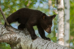 Young Black Bear (Ursus americanus) Walks Down Branch Stock Photography