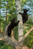 Young Black Bears (Ursus americanus) Climb Up Tree. Captive animals Royalty Free Stock Images