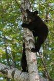 Young Black Bears (Ursus americanus) in Tree Stock Photos