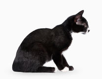 Young black bicolor domestic cat. On white background Royalty Free Stock Images