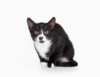 Young black bicolor domestic cat. On white background Stock Image