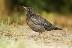 Young black bird. Young blackbird, taken in the field, Slovakia, Europe Royalty Free Stock Photo