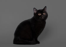 Young black british kitten on grey background Royalty Free Stock Photo