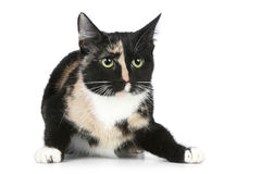 Young black brown cat (Tortoise colour) Stock Photography