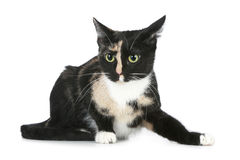 Young black brown cat (tortoise colour) Royalty Free Stock Photo