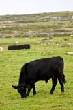 Young black bull on an Irish pasture Stock Image