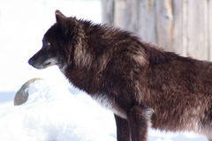 Young black canadian wolf looks out for its prey. Stock Photos
