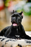 Young black Cane Corso puppy lying in front Stock Photos