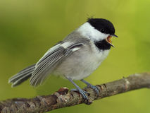 Young Black-capped Chickadee begging for food Royalty Free Stock Images