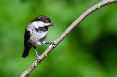 Young Black-Capped Chickadee Royalty Free Stock Photos