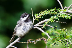 Young Black-Capped Chickadee Royalty Free Stock Image