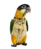 Young Black-capped Parrot (10 weeks old) Stock Photography