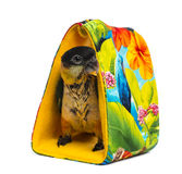 Young Black-capped Parrot (10 weeks old) standing in a bag Stock Photography