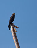 A young Black Caracara on a log Royalty Free Stock Image