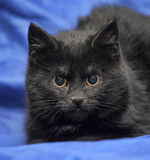 Young black cat on a blue Stock Photography