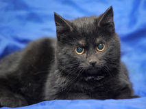 Young black cat on a blue Stock Photos