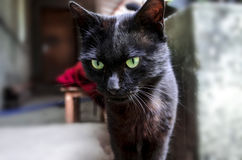Young black cat with green expressive eyes Stock Photos