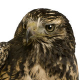 Young Black-chested Buzzard-eagle Stock Image