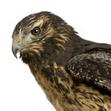 Young Black-chested Buzzard-eagle Stock Images