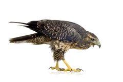 Young Black-chested Buzzard-eagle Royalty Free Stock Photos