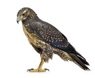 Young Black-chested Buzzard-eagle Royalty Free Stock Images