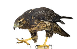 Free Young Black-chested Buzzard-eagle Royalty Free Stock Photos - 3885378
