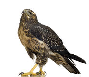 Young Black-chested Buzzard-eagle Royalty Free Stock Image