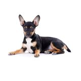 Young black coat puppy dog isolated on white Royalty Free Stock Photography