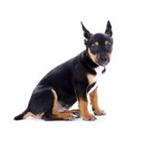 Young black coat puppy dog isolated on white Stock Image