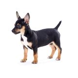 Young black coat puppy dog isolated on white Stock Photos
