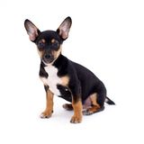 Young black coat puppy dog isolated on white Royalty Free Stock Photos