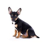 Young black coat puppy dog isolated on white Royalty Free Stock Images