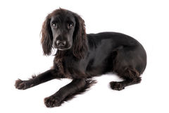 Young black cocker spaniel. Isolated on white background royalty free stock photo