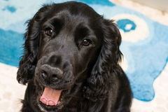Young black cocker spaniel royalty free stock images