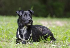 Black Collie mixed breed dog laying down Royalty Free Stock Photos