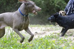 Three dogs play fighting in sand Royalty Free Stock Images